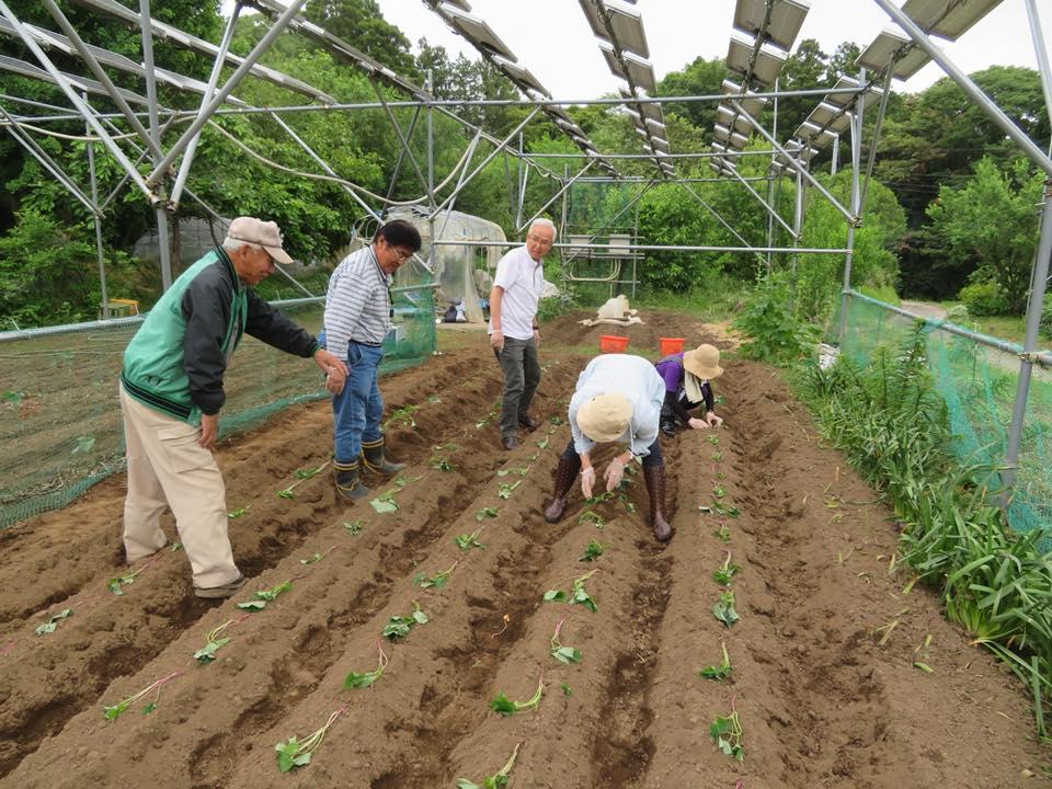 5月 えどかわエコセンターの皆様 サツマイモの苗植え