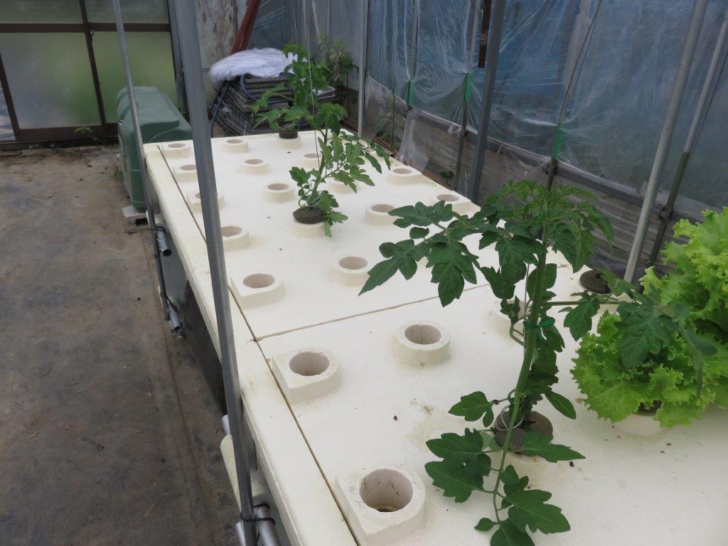 4月 ミニトマト苗植え 水耕栽培