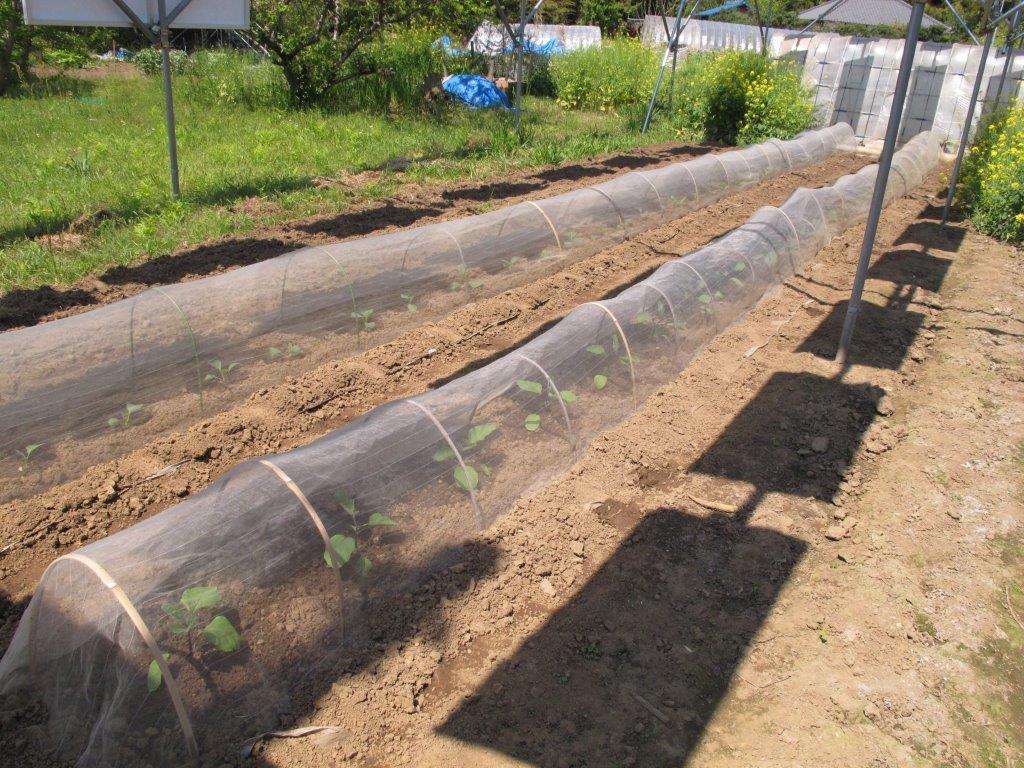 なすとキャベツの苗を植えました
